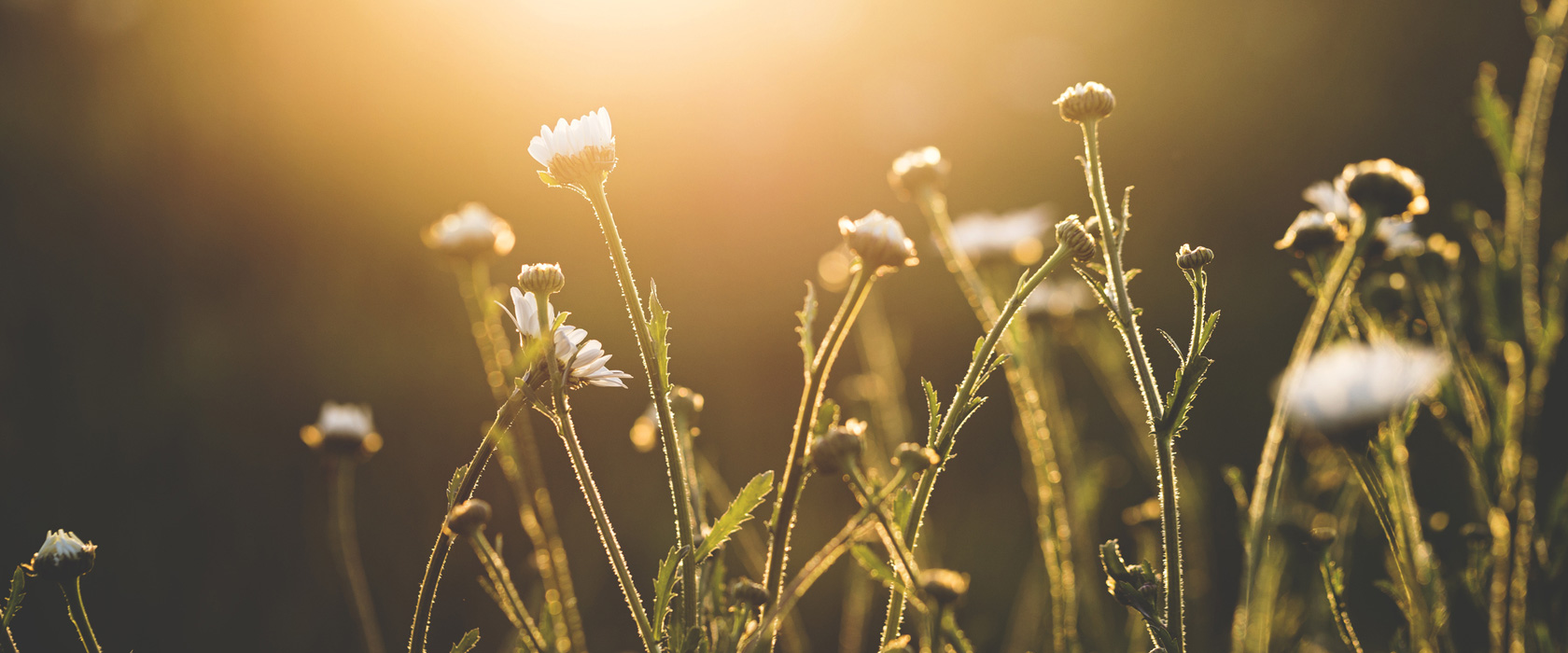 Magic hour Flowers